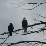 Bald eagle and Yearling